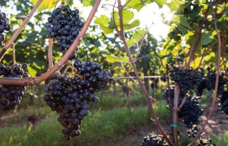 vinarstvo_perinova_kmetija
